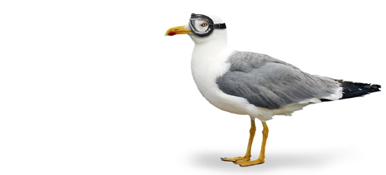A seagull with flying goggles